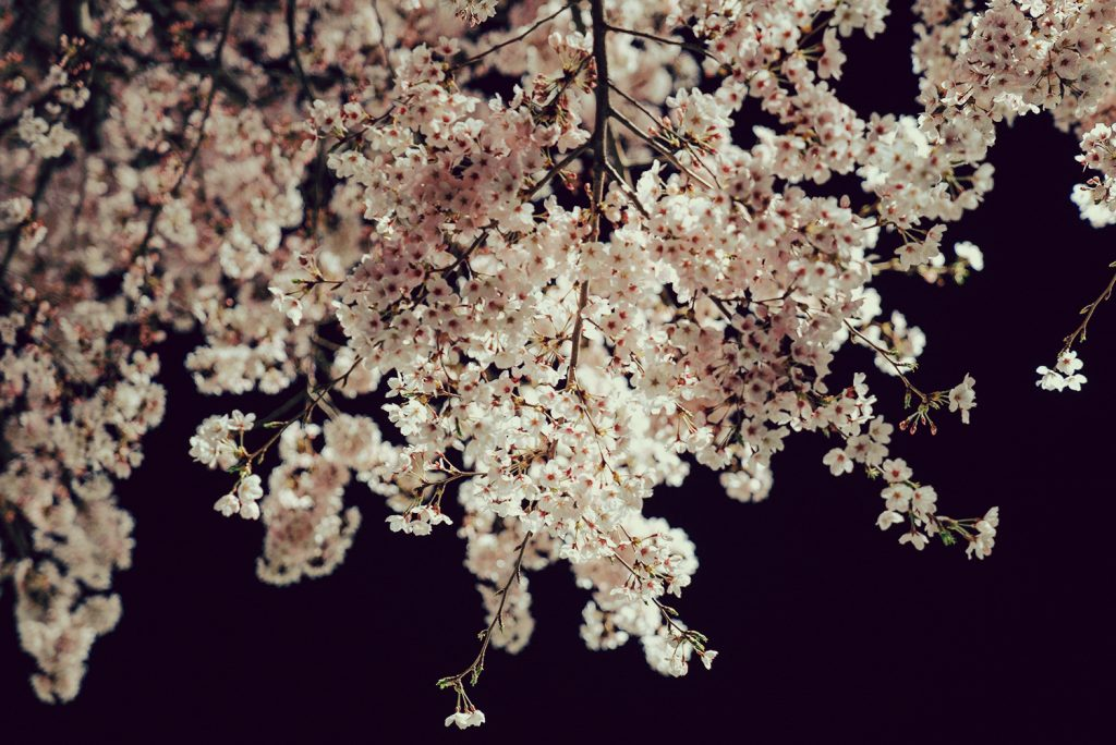 富士森公園 夜桜 ライトアップ