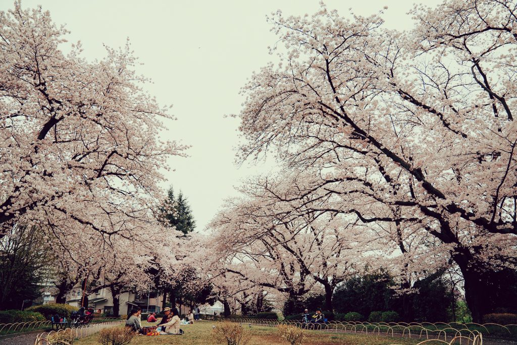 浅川 横山公園 桜