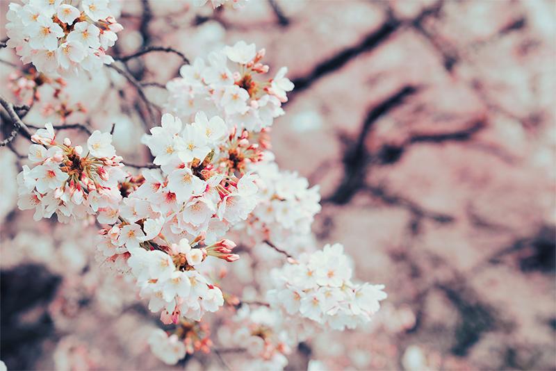 八王子 桜