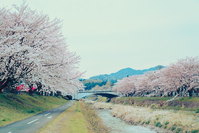 2018八王子の花見おすすめスポット!!桜の開花日と満開日を予想!!