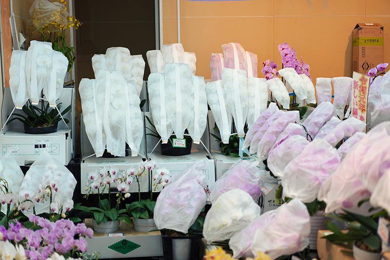 日本フラワー 胡蝶蘭